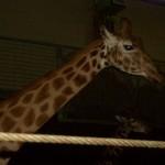 ummm, A Giraffe!