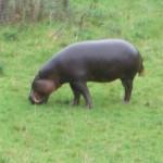 Hungary Hippo?