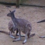 or is it a kangaroo?